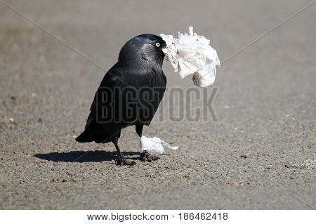 A Jackdaw picking up discarded tissue litter to build it's nest