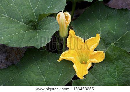 Pumpkin flowers or Cucurbita moschata Duchesne squash.