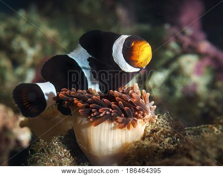 Symbiosis of clown fish and sea anemones