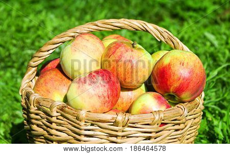 Fruit ripe red juicy apples in basket on a green grass. a harvest of apples in an autumn orchard.