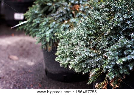 Young Spruce In A Pot In A Shop Of Seedlings. Branch Of Young Spruce.