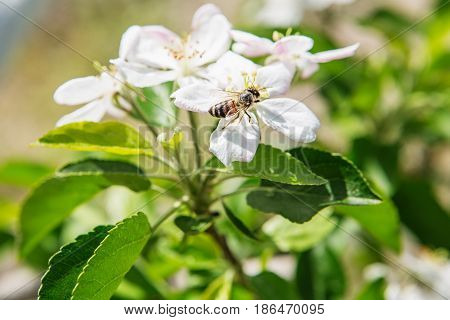 The Bee Sits On A Flower Of A Bush Blossoming Apple Tree And Pollinates Him.