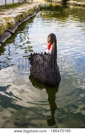 Black swan swinging on the waves. Romantic background. Beautiful swan.