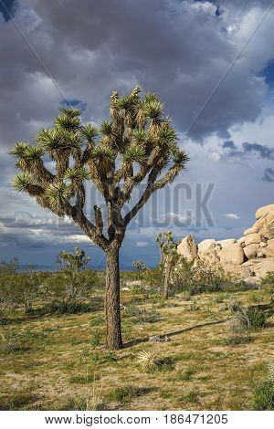 Joshua Tree Growing In The Mojave Desert - Joshua Tree National Park, California