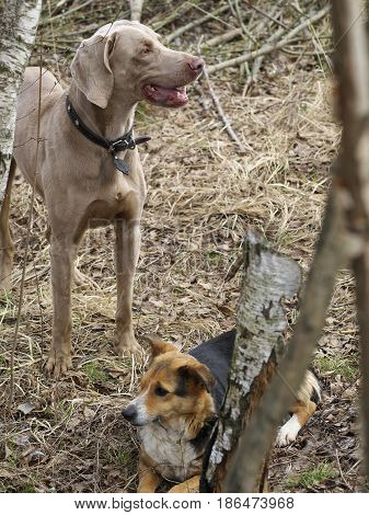 Two Dogs On Nature Befor Hunting, Weimaraner And Mixed Breed Dog