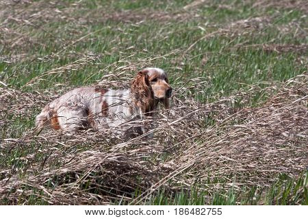 hunting dog on the hunt in the field