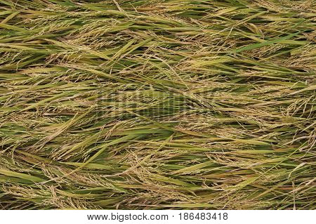 Ripe rice on the rice field. Vintage rice in the rice field.