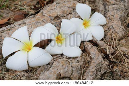 A fallen plumeria flower. White and yellow plumeria fallen on the floor. Plumeria flower spa concept.
