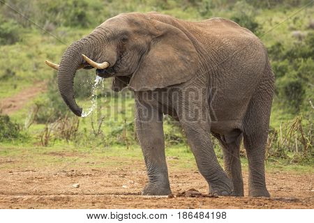 Large male elephant drinking water at a waterhole in South Africa