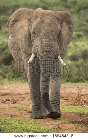 Large male elephant walking on a path in the African wild