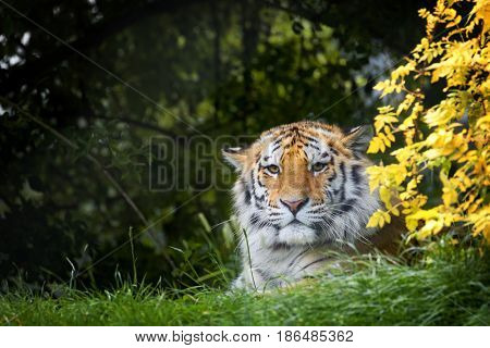 Young adult Siberian tiger, otherwise known as the Amur Tigers, hiding in the shade of the undergrowth. This big cat is indigenous to far eastern Russia.