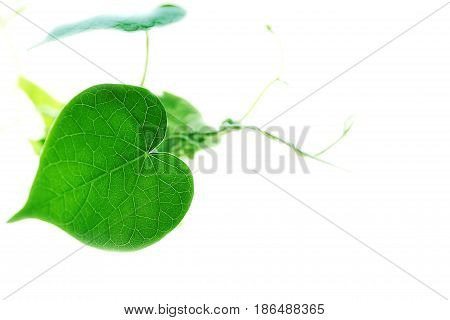 plants annuals morning glory - selective focus on a sheet of white background isolate with space for your text