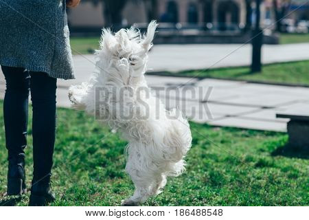 Cute White Dog Playing With Owner On Grass