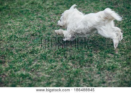 Сute White Dog Running Outdoors