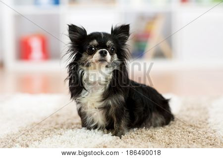 Cute chihuahua dog sitting on carpet indoors