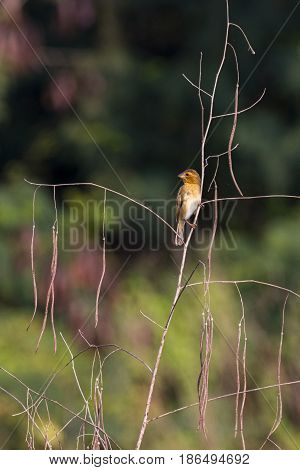 Image of golden weaver bird(Female) on the branch on nature background. Wild Animals.