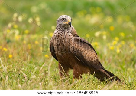 Beautiful adult black kite on the meadow