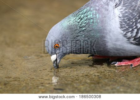 A feral pigeon drinking from a puddle poster