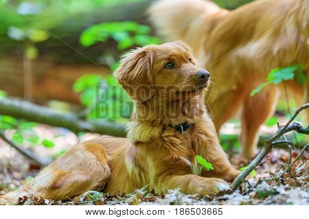 Nova Scotia Duck Tolling Retriever In The Forest