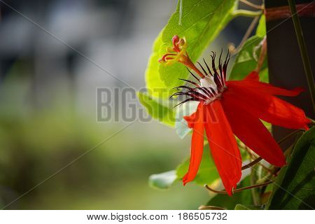 Red Passion Flower, Red Mary Jane Passion flora and the green leaves
