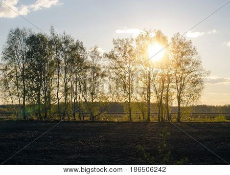 Birch tree forest in sunset rays. Nature landscape.