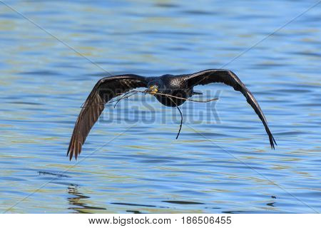 Double-crested Cormorant returning to its nest with a stick