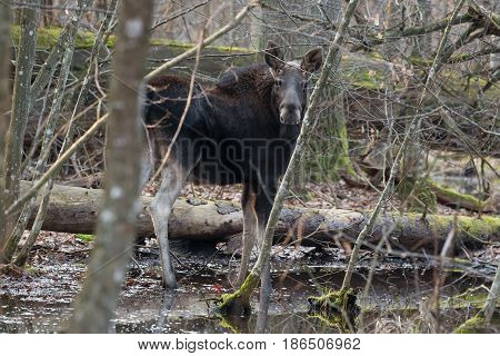 Single European elk standing in a swamp in the forest often. Moose is awake but relaxed and looking at me in the distance. Wild Bull Moose in Bialowieza National Park, Belarus