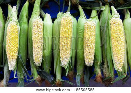 Fresh corn on the cob on the counter village of the US market