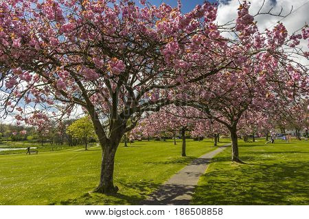 Looking Through Avenue Of Cherry Blossom Trees