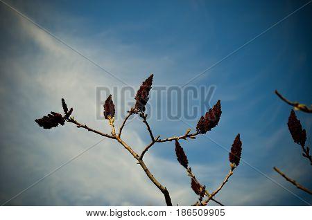 Staghorn sumac or velvet sumac , Rhus typhina against the sky at spring