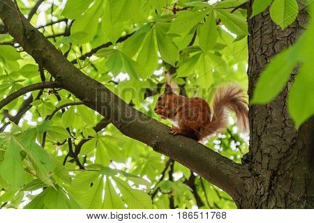 Red-haired Furry Squirrel Sitting On A Tree And Eating Food