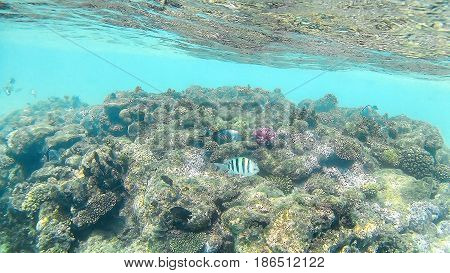 Fish-surgical Akantnuridae, Seabreams And Swim Around A Bright Colored Coral Reef In The Red Sea In