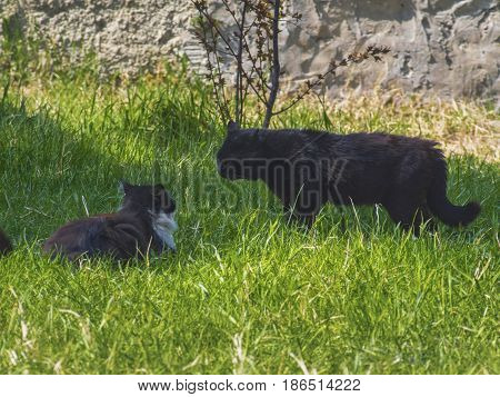 Two cats fighting on the green lawn