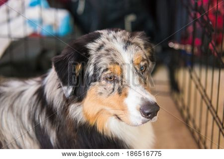 Close-up portrait of a Australian Shepherd. indoor portrait