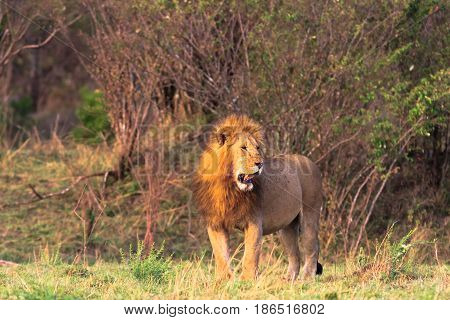 The huge lion - the owner of the savannah. The biggest cat. Masai Mara, Kenya
