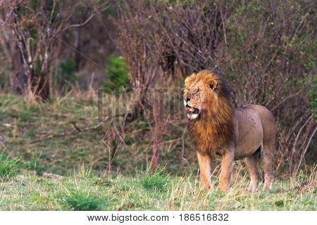A huge lion in the savannah. The owner of the savannah. Kenya, Africa