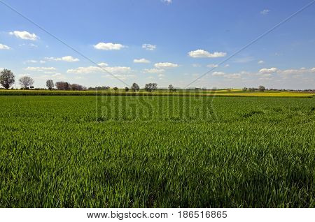 A field of green crops with yellow canola field in the distance