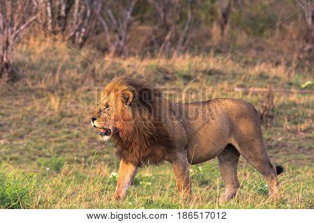 The owner of the savannah. Masai Mara, Kenya