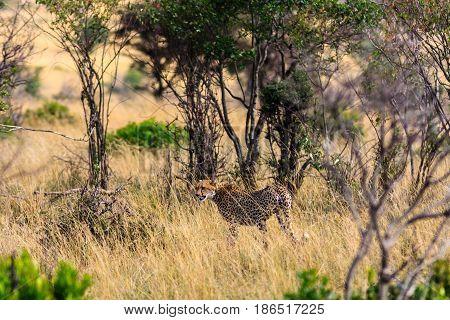 The cheetah goes into the bush. Kenya, Africa