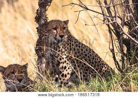 Cheetahs of Serengeti national park. Kenya, Eastest Africa