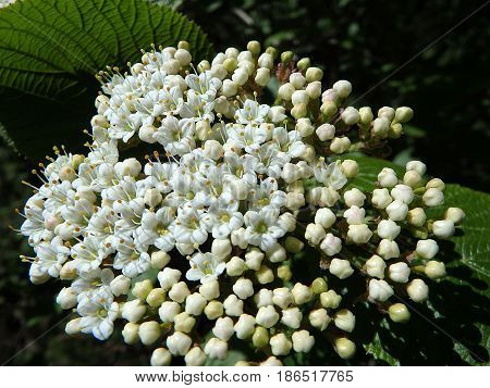 Blooming Wayfaring Tree , ( Viburnum lantana )