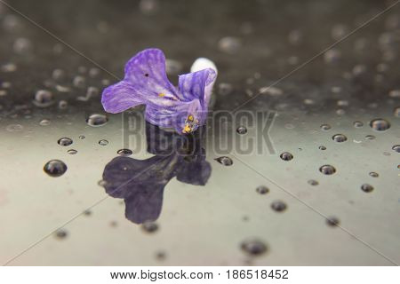Macro of one flower of Ajuga reptans. A flower is on a glass and there are the drops too.