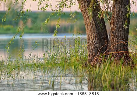 Weeping willow in a swamp at sunset
