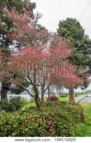 A view a Dogwood tree with flowers at Hamilton Viewpoint Park in West Seattle Washington.