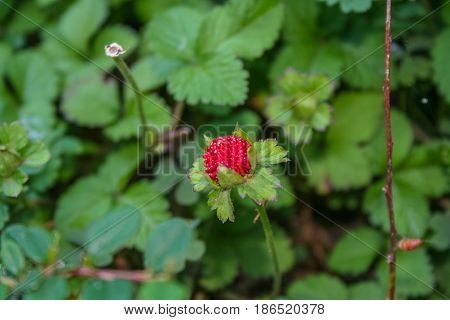 Berry strawberry in the Park of the sanatorium