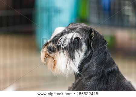 portrait of miniature schnauzer close up. Dog portrait