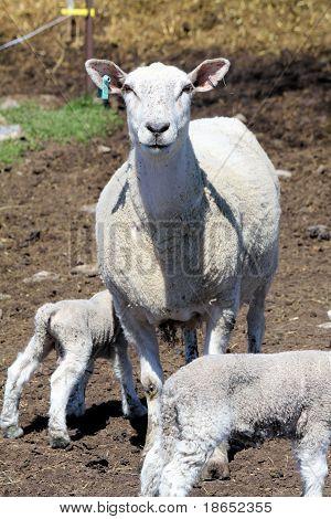 Sheep (Ewe and Lamb)