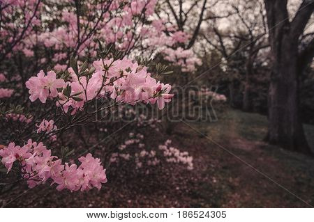 Blooming rhododendron in the dark avenue of the park. Way in the dark and dense park. blurred background. copy space for your text