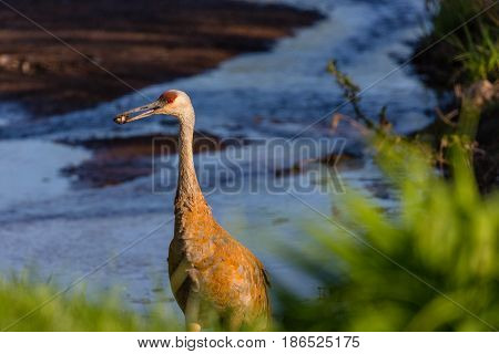Sandhill crane (Grus canadensis) holding food in its beak that it grabbed in a Wisconsin stream