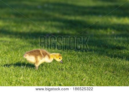 Canada Goose (branta canadensis) Gosling feeding on bugs in a wildlife park on a spring day